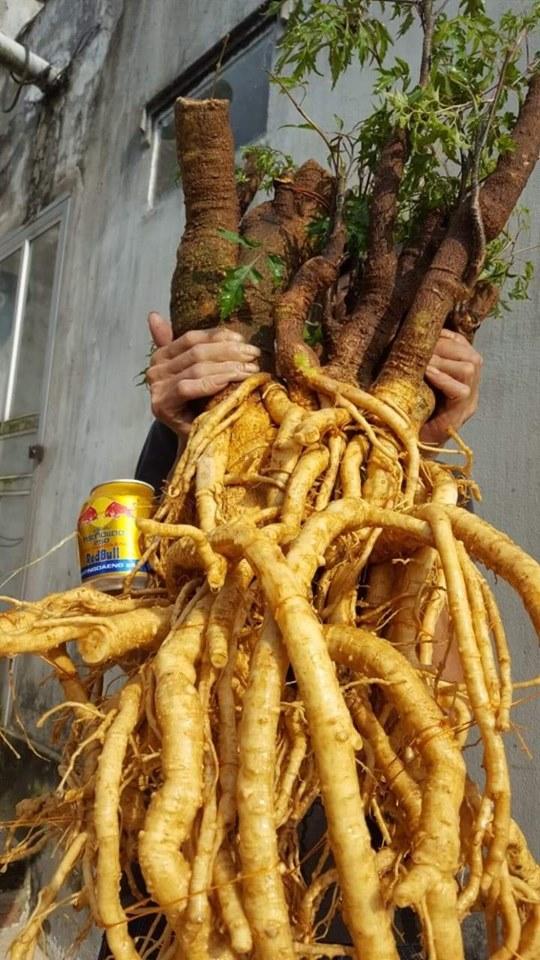 Những tác dụng tuyệt vời của củ thân lá cây Đinh Lăng không phải ai cũng biết